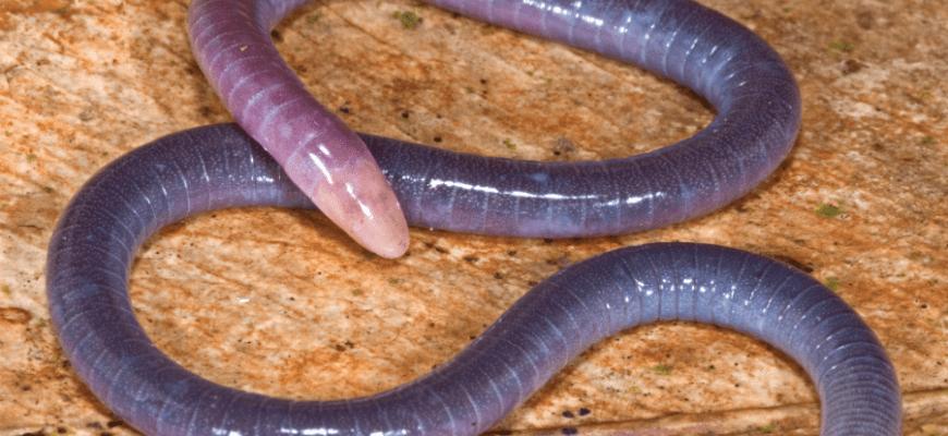 Microcaecilia Dermatophaga