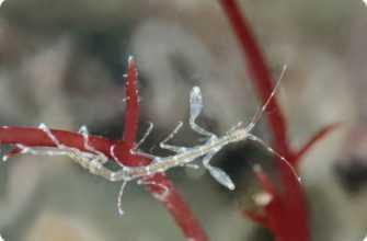 Креветка-скелет
