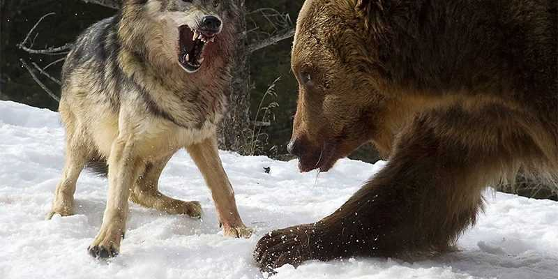 охота собака медведь