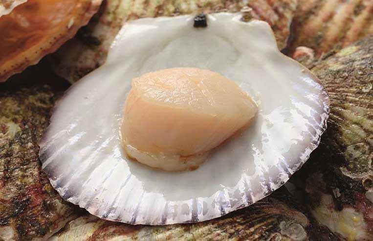 морской гребешок