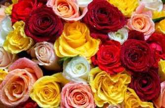 Цвета роз. Какие эмоции и чувства передает цвет розы