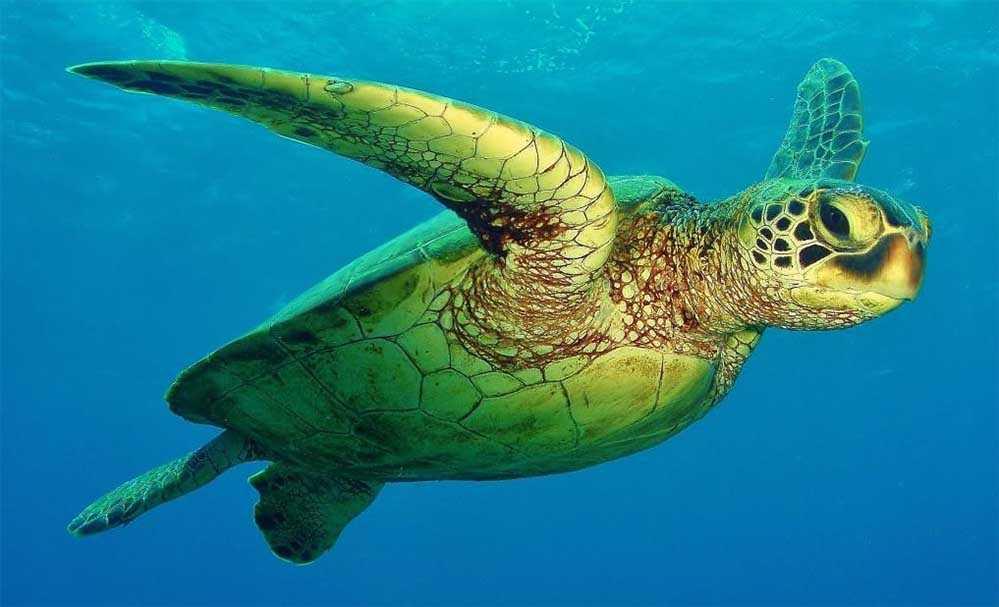 Зеленая черепаха, тысячи черепах в Австралии приплыли на остров Рейн