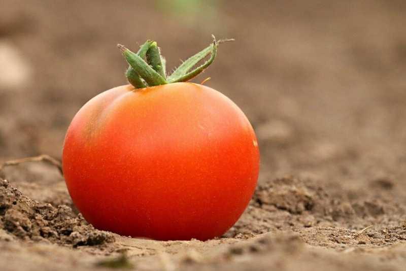 помидоры и свекровь
