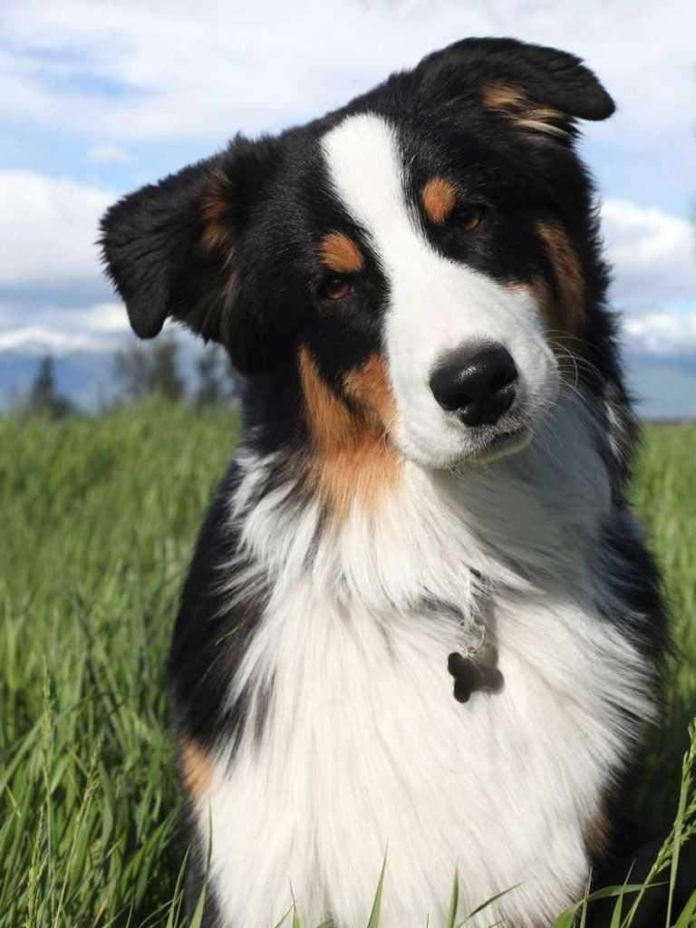 Австралийская овчарка. 25 самых симпатичных пород собак