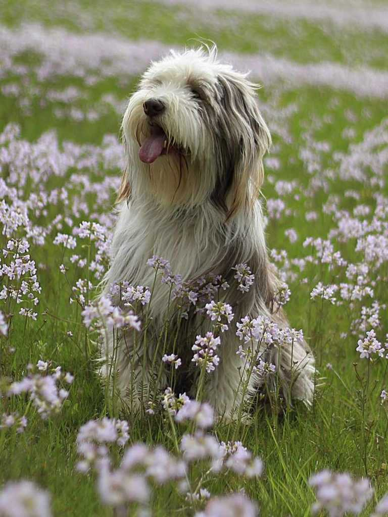 Бородатый колли. 25 самых симпатичных пород собак