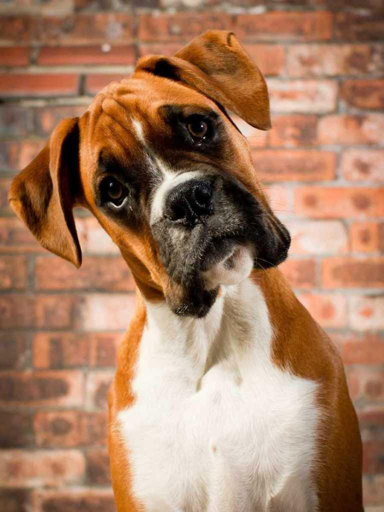 Боксер. 25 самых симпатичных пород собак