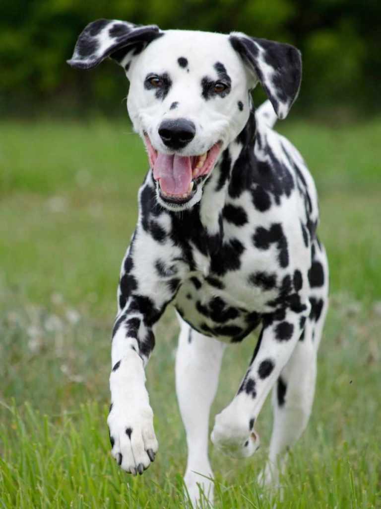 Далматинец. 25 самых симпатичных пород собак