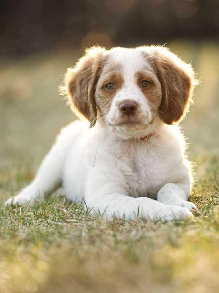 Бретань. 25 самых симпатичных пород собак