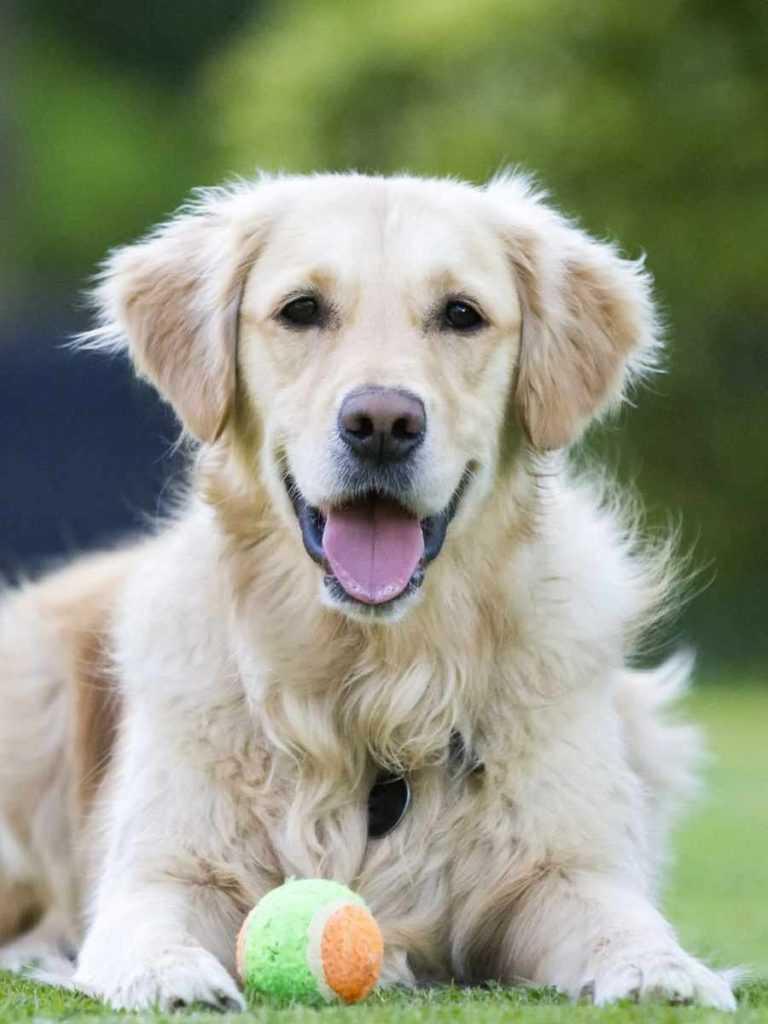 Золотистый ретривер. 25 самых симпатичных пород собак
