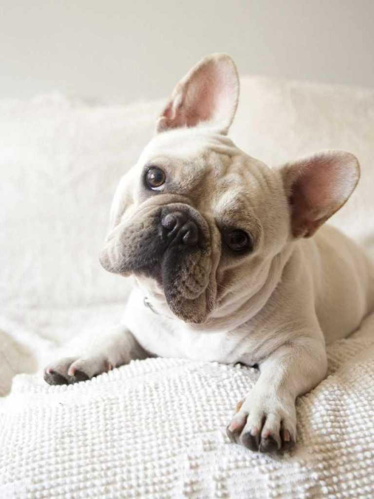 Французский бульдог. 25 самых симпатичных пород собак