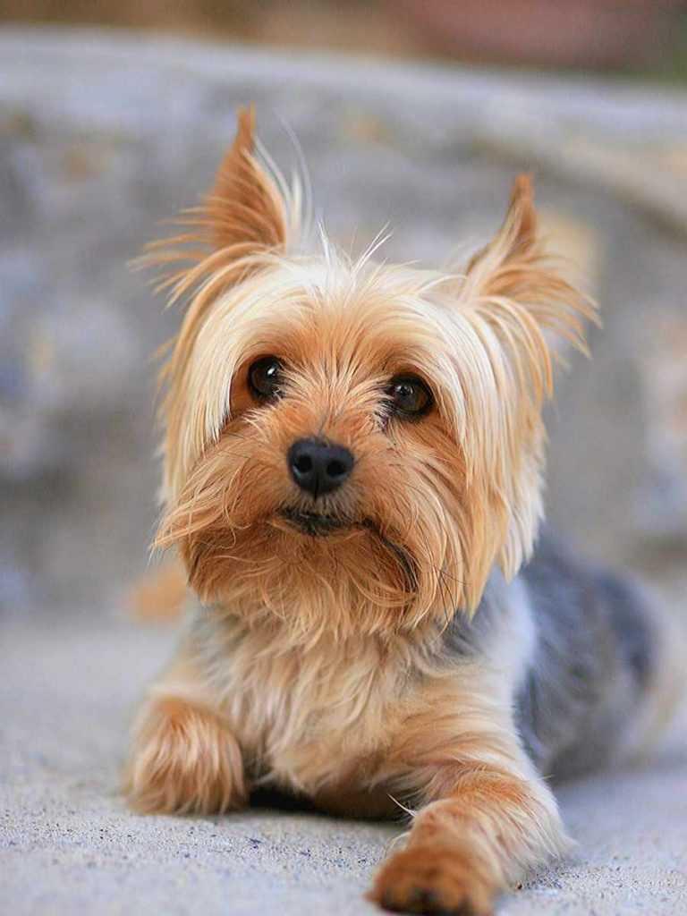 Йоркширский терьер. 25 самых симпатичных пород собак
