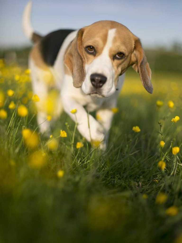 Гончая. 25 самых симпатичных пород собак