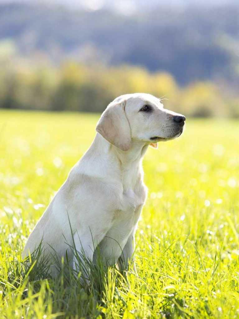 Лабрадор ретривер. 25 самых симпатичных пород собак