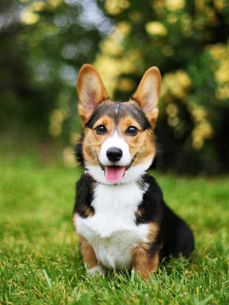 Вельш корги пемброк. 25 самых симпатичных пород собак.