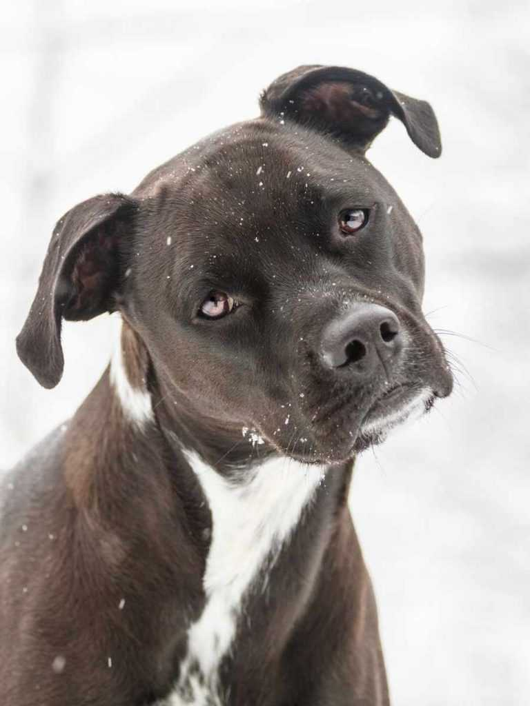 Американский стаффордширский терьер. 25 самых симпатичных пород собак