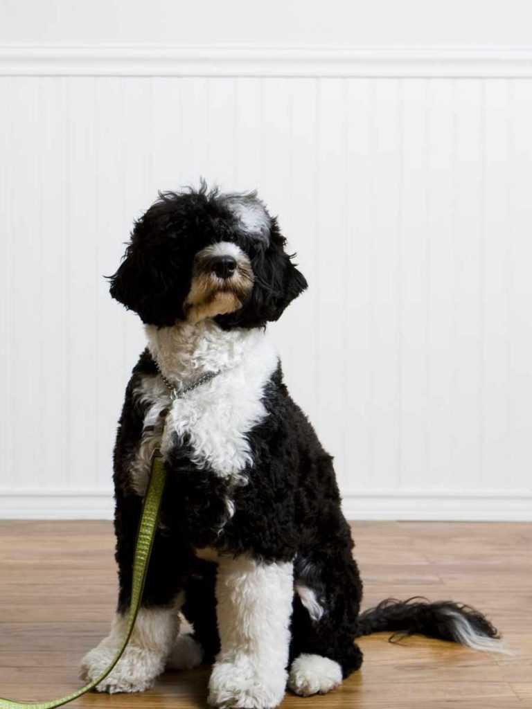 Португальская водяная собака. 25 самых симпатичных пород собак