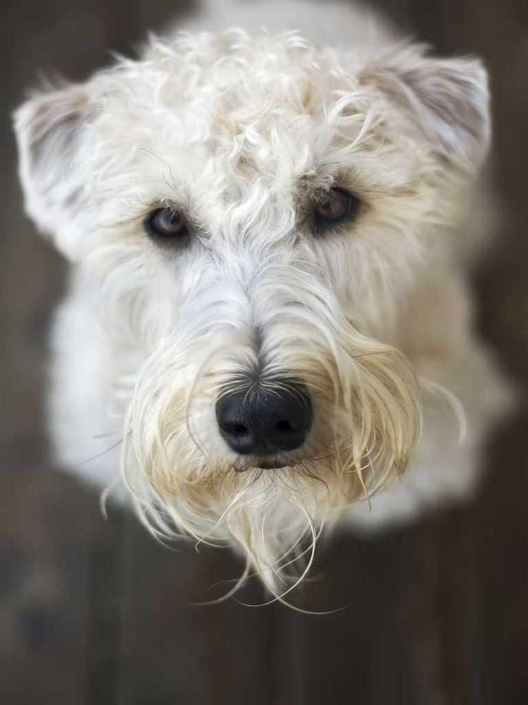 Мягкошерстный пшеничный терьер. 25 самых симпатичных пород собак