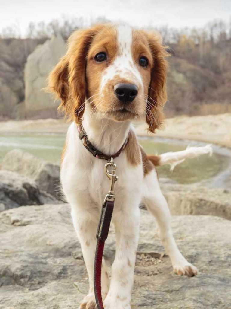 Уэльский спрингер-спаниель. 25 самых симпатичных пород собак