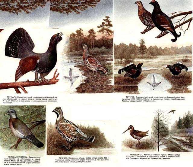 Дичь, глухарь, утки, гуси, куропатки