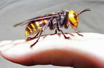 Оса. Укусы жалящих насекомых и животных, чем опасны