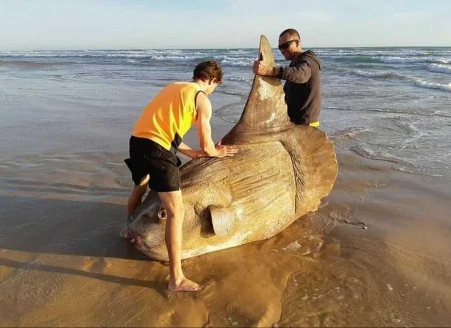 Рыба-солнце - редкая рыба показалась бревном, попалась рыбакам