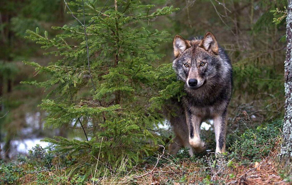 Как охотник спас волчонка от смерти. Рассказы о волках
