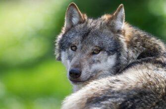 Рассказы о волках. Про волчицу, которая помнит добро