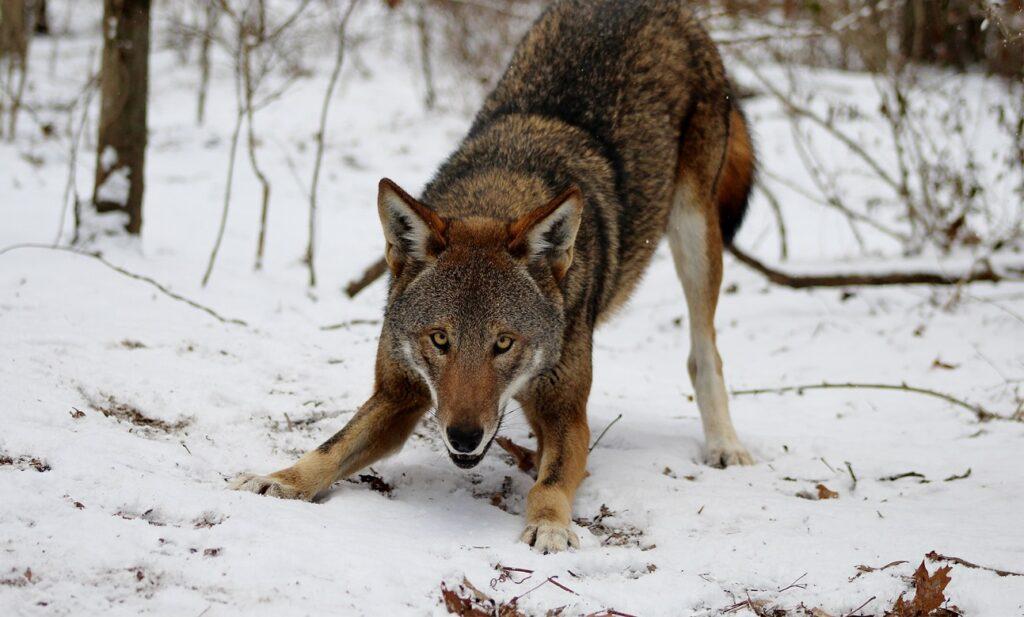 Лесник чуть не убил волка в схватке. Рассказы о волках