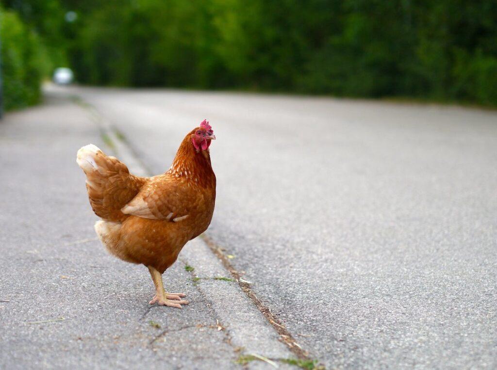 Охота на курицу