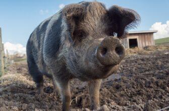 Призрачная свинья