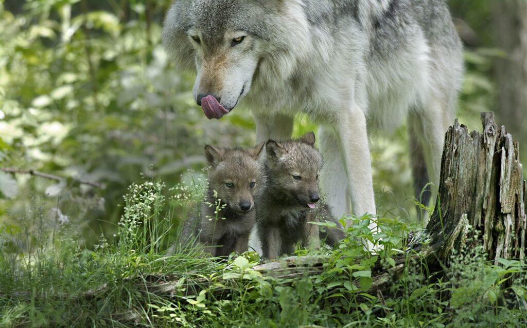 Волчица Сметана