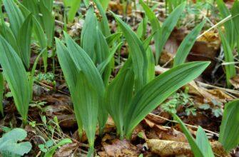 Черемша - полезное растение, но употреблять ее надо осторожно