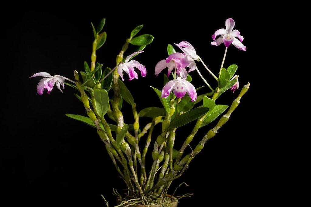 Дендробиум орхидея традиционное китайское лекарство