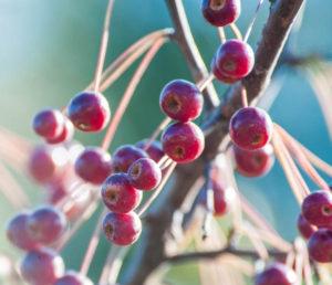 Молодильные дикие яблочки (райские) как средство поднятия настроения