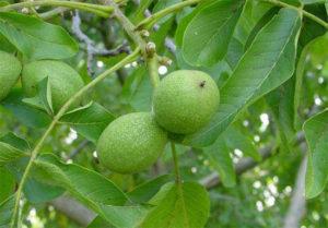 Настойка для омоложения и лекарство от многих болезней из грецких или манжурских орехов